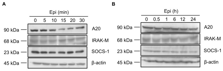 Epinecidin-1 alone does not affect protein levels of A20, IRAK-M, and SOCS-1. ( A , B ) Raw264.7 cells were incubated with epinecidin-1 (Epi; 6 μg/mL) for short-term (0–30 min) or long-term (0–24 h) exposure. After treatment, cell lysates were collected and immunoblotted with indicated antibodies. β-actin served as a loading control.