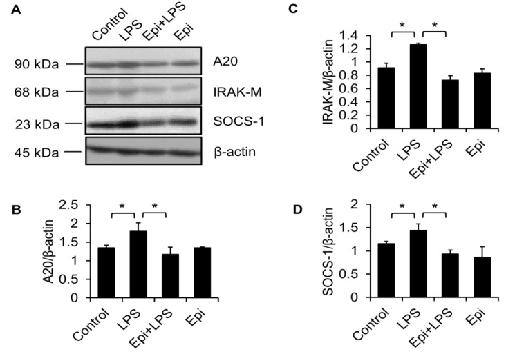 Epinecidin-1 attenuates LPS-induced upregulation of A20, IRAK-M, and SOCS-1. ( A ) Cells were preincubated with Epi (6 μg/mL) for 30 min, followed by treatment with LPS (100 ng/mL) for additional 30 min. Cell lysates were collected after stimulation with Epi/LPS and probed with indicated antibodies. β-actin served as a loading control. Quantification of results for A20 ( B ), IRAK-M ( C ), and SOCS-1 ( D ). * p