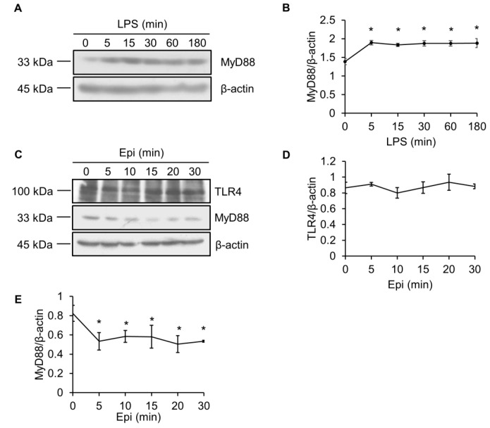 Epinecidin-1 suppresses protein levels of MyD88. ( A ) Cells were treated with LPS (100 ng/mL) for 0, 5, 15, 30, 60, or 180 min, and lysates were immunoblotted with MyD88 and β-actin. ( B ) Quantification of MyD88 protein levels. ( C ) Cells were treated with 6 μg/mL Epi for 0, 5, 10, 15, 20, or 30 min. Cell lysates were harvested after stimulation and immunoblotted with indicated antibodies. Quantification of TLR4 ( D ) and MyD88 ( E ) levels. * p