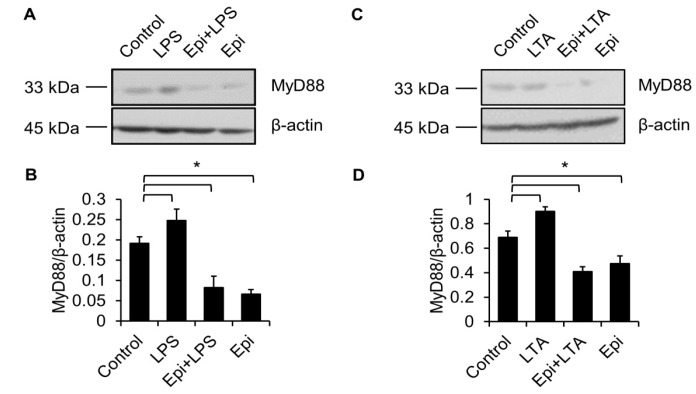 LPS-induced upregulation of MyD88 is abolished by epinecidin-1. Cells were preincubated with Epi (6 μg/mL) for 30 min followed by treatment with 100 ng/mL LPS ( A ) or 5 μg/mL lipoteichoic acid (LTA; C ) for an additional 30 min. Cell lysates were collected and probed with MyD88 and β-actin antibodies. ( B , D ) Quantification of MyD88 level. * p