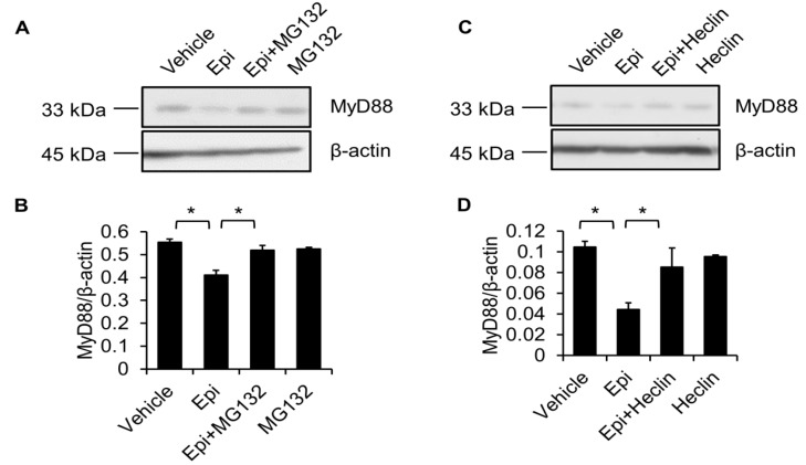 MG132 and Heclin abolish epinecidin-1-mediated degradation of MyD88. Cells were preincubated with 10 μM MG132 ( A ) or 7 μM Heclin ( C ) for 1 h followed by treatment with 6 μg/mL Epi ( A ) or for an additional 30 min. Cell lysates were collected and probed with MyD88 and β-actin antibodies. ( B , D ) Quantification of MyD88 levels. Vehicle: 0.5% DMSO. * p