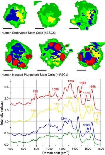 Semiquantitative comparison of Raman images by cluster analysis. KCA performed on the PCA results for Raman assignment of different cellular regions. Top row reports results for three typical hESCs, while second row reports results for three typical hiPSCs (scale bar = 5 μm). For the KCA calculation, six clusters were imposed within the cells (see text for further details), and the red cluster is only evident in hiPSCs (upper panel). Lower graph shows average Raman spectra of each cluster, where the curves have the same color as the corresponding cluster. The red curve exhibits all of the major peaks ascribed to DNA/RNA bases, and consequently the red regions inside the cells are assigned to DNA/RNA compartments. The absence of red clusters inside hESCs does not mean that DNA/RNA bases are missing therein, only that their expression is much lower than the DNA/RNA abundance in the red regions of hiPSCs