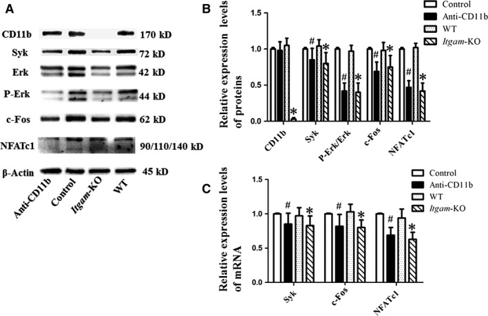 Western blot and real‐time quantitative PCR results showed that CD11b blockage or deficiency down‐regulated NFATc1 via the Syk signalling pathway. Mouse OCPs were treated with sRANKL (100 ng/ml) and M‐CSF (10 ng/ml), together with anti‐CD11b antibody (10 μg/ml) for 7 days. Periostea were from Itgam ‐KO group and WT group. ( A ) Cell lysates and periosteum lysates were analysed by Western blotting. ( B ) Relative expression levels of proteins were presented as mean ± S.D., n = 3. ( C ) Total RNA was obtained for RT‐PCR and quantitative real‐time PCR, n = 3. # P