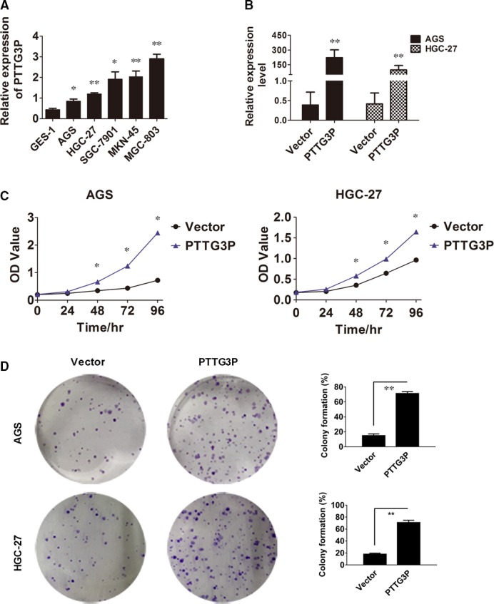 PTTG3P stimulates GC tumour cell proliferation. ( A ) PTTG3P expression was quantitated in 5 GC cell lines and the GES‐1 cell line using qRT–PCR. ( B ) The GC cell lines AGC and HGC‐27 were transfected with either PTTG3P or a vector control, and PTTG3P overexpression was verified by qRT–PCR. ( C ) Cell viability of AGS and HGC‐27 cells transfected with PTTG3P or a vector control was measured using a CCK8 assay. ( D ) The cell colony‐formation ability of AGS and HGC‐27 cells transfected with PTTG3P or the vector control was measured. Data are shown as the mean ± SD of three replicates; * P