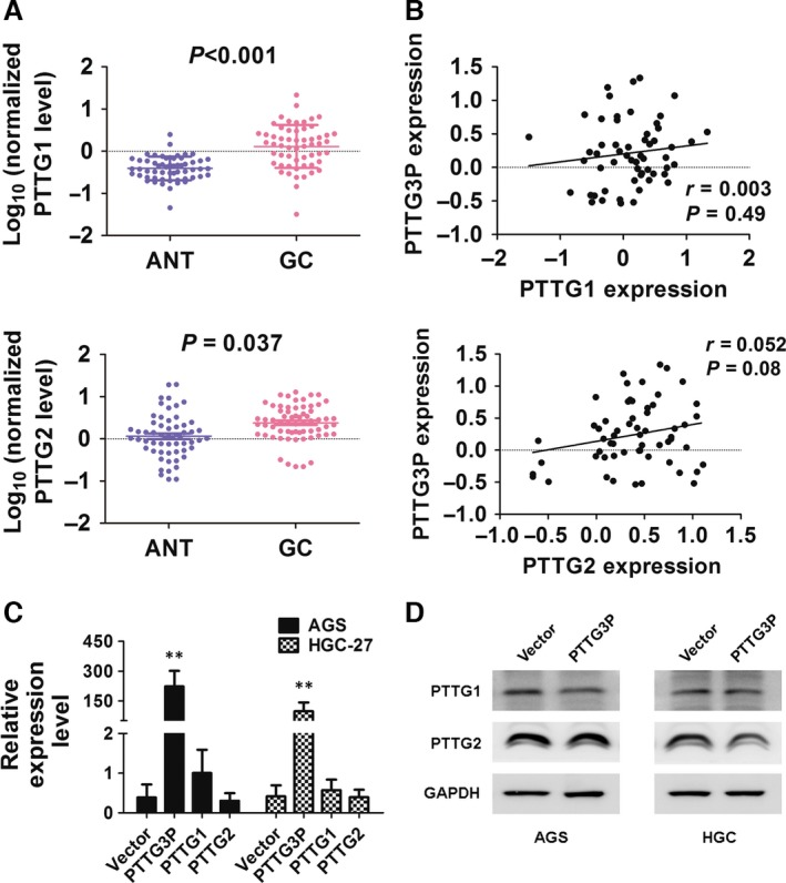 PTTG3P overexpression is not correlated with PTTG1 or PTTG2 expression. ( A ) The expression of PTTG1 and PTTG2 in adjacent non‐tumour (ANT) and GC tissues was determined by qRT–PCR. ( B ) Correlations between PTTG3P expression and PTTG1 or PTTG2 expression were evaluated. ( C ) mRNA expression levels of PTTG1 and PTTG2 in cells overexpressing PTTG3P were evaluated by qRT–PCR. ( D ) Protein expression levels of PTTG1 and PTTG2 in cells overexpressing PTTG3P were evaluated by Western blotting; GAPDH was used as a reference. Data are shown as the mean ± SD of three replicates; ** P