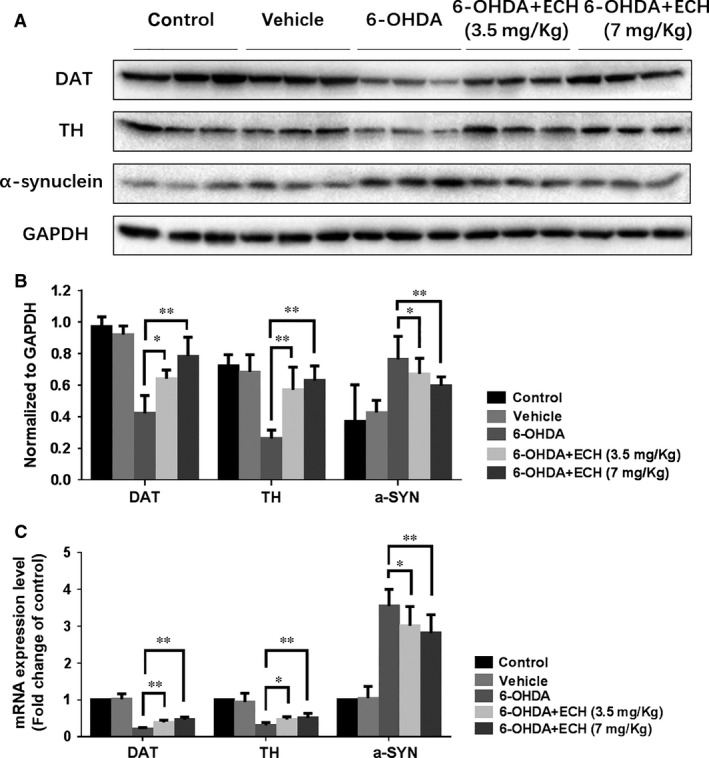 ECH rescued protein and mRNA expression levels of TH, DAT and decreased α‐synuclein accumulation in 6‐OHDA‐induced rat. ( A ) After intraperitoneally treated with vehicle or 0, 3.5, 7 mg/kg of ECH for 14 days, relative protein levels were measured using Western blotting ( n = 3), GAPDH taken as a reference gene. ( B ) The immunoreactive bands were quantified by densitometry using ImageJ software and normalized to GAPDH ( n = 3, * P