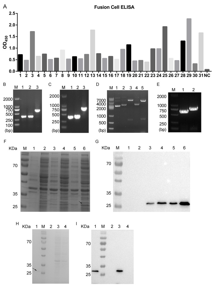Screening and identification of positive fusion cell clones and generation of chimeric monoclonal antibody ROR1-cFab (A) ELISA. ELISA was performed to screen 31 candidate fusion cell clones after three rounds of sub-clone screening. NC, a negative control. (B) Agarose gels of PCR amplification of the light chain. Lane 1, V L ; Lane 2, C L ; Lane 3, V L combined with C L ; M, a DNA maker. (C) Agarose gels of PCR amplification of the heavy chain. Lane 1, V H ; Lane 2, C H 1; Lane 3, V H combined with C H 1; M, a DNA maker. (D) Agarose gels of PCR amplification of pETDuet-ROR1-cFab. Lane 1, the plasmid of pETDuet without restriction endonuclease digestion; Lane 2, the plasmid of pETDuet-L; Lane 3, NcoI/HindIII were used for double digesting the pETDuet-L plasmid; Lane 4, the plasmid of pETDuet-L-H (pETDuet-ROR1-cFab); Lane 5, NdeI/kpnI were used for double digestion of the pETDuet-ROR1-cFab plasmid; M, a DNA marker. (E) Agarose gels of PCR amplification of the light and heavy chain of pETDuet-ROR1-cFab. Lane 1, L; Lane 2, Fd; M, a DNA maker. (F) Coomassie blue staining of a SDS-PAGE gel and (G) Western blot. Detection of expression of the Fab fragment in E. coli. Lane 1, supernatant of sonicated lysate of untransfected E. coli BL21, a negative control; Lane 2, sediment of sonicated lysate of untransfected E. coli BL21, a negative control; Lane 3, supernatant of sonicated lysate of pETDuet-ROR1-cFab-transfected E. coli; Lane 4, sediment of sonicated lysate of pETDuet-ROR1-cFab-transfected E. coli; Lane 5, supernatant of sonicated lysate of pETDuet-ROR1-cFab-transfected E. coli induced by IPTG overnight; Lane 6, sediment of sonicated lysate of pETDuet-ROR1-cFab-transfected E. coli induced by IPTG overnight; M, a protein marker. (H) Coomassie blue staining and (I) Western blot. Detection of the purification efficiency of the Fab fragments. Lane 1, the Fab fragments was purified by the Protein L affinity column; lane 2, sediment of sonicated lysate of pETDuet-ROR1-cFab-tra
