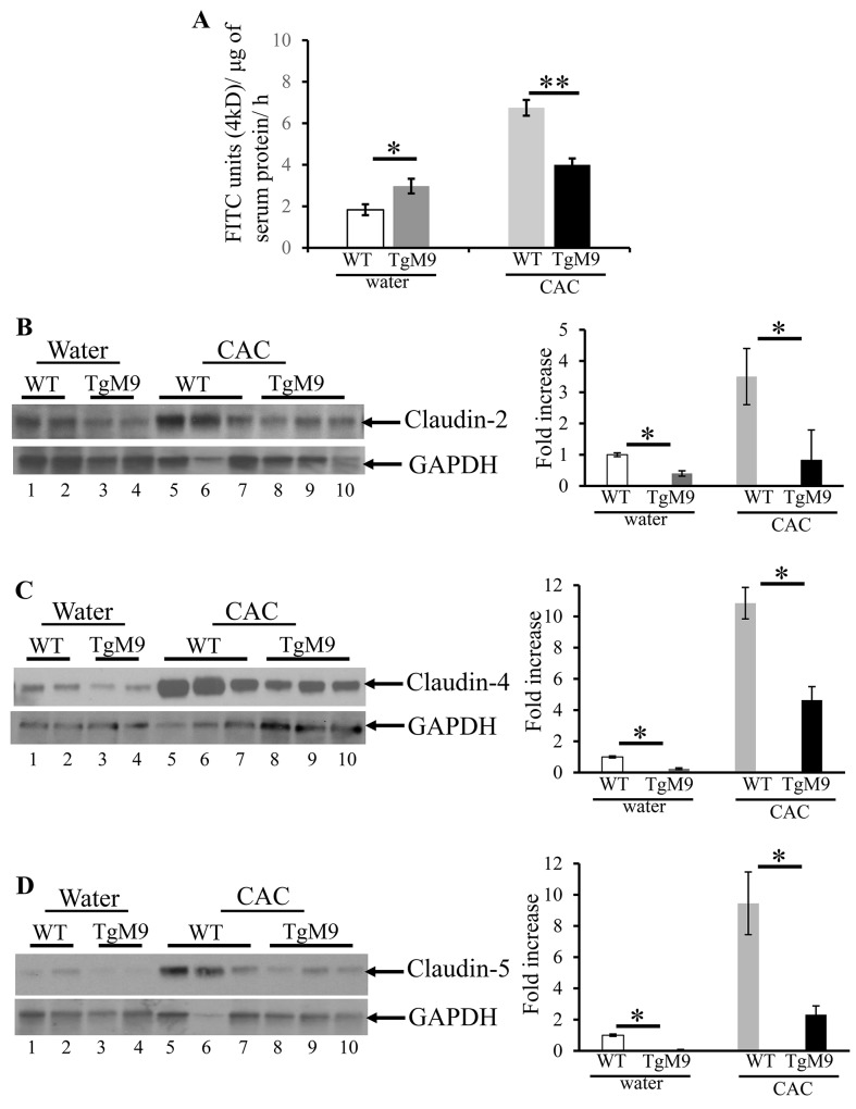 MMP9 maintains colonic epithelial barrier function and TJ assembly in CAC In vivo permeability was measured in TgM9 and WT mice treated with water or 3 cycles of 3% DSS to assess the barrier function between the lumen and the mucosal epithelial lining by using 4kD FITC dextran molecule. (A) Flux of 4kD FITC units/μg of serum protein. Each bar represents mean ± S.E., *p