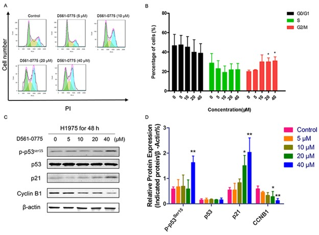 D561-0775 induced cell cycle arrest in H1975 cells (A) H1975 cells were treated with D561-0775 at different concentration for 48 h. (B) Statistical analysis of cell cycle distribution after 48 h drug treatment. (C) Western blot analysis of the protein levels of p-p53 ser15 , p53, p21, Cyclin B1 and β -actin after 48 h drug treatment. (D) Statistical analysis of the densitometry signals of p-p53 ser15 , p53, p21 and Cyclin B1. All data was presented as mean ± SD (n= 3, * p