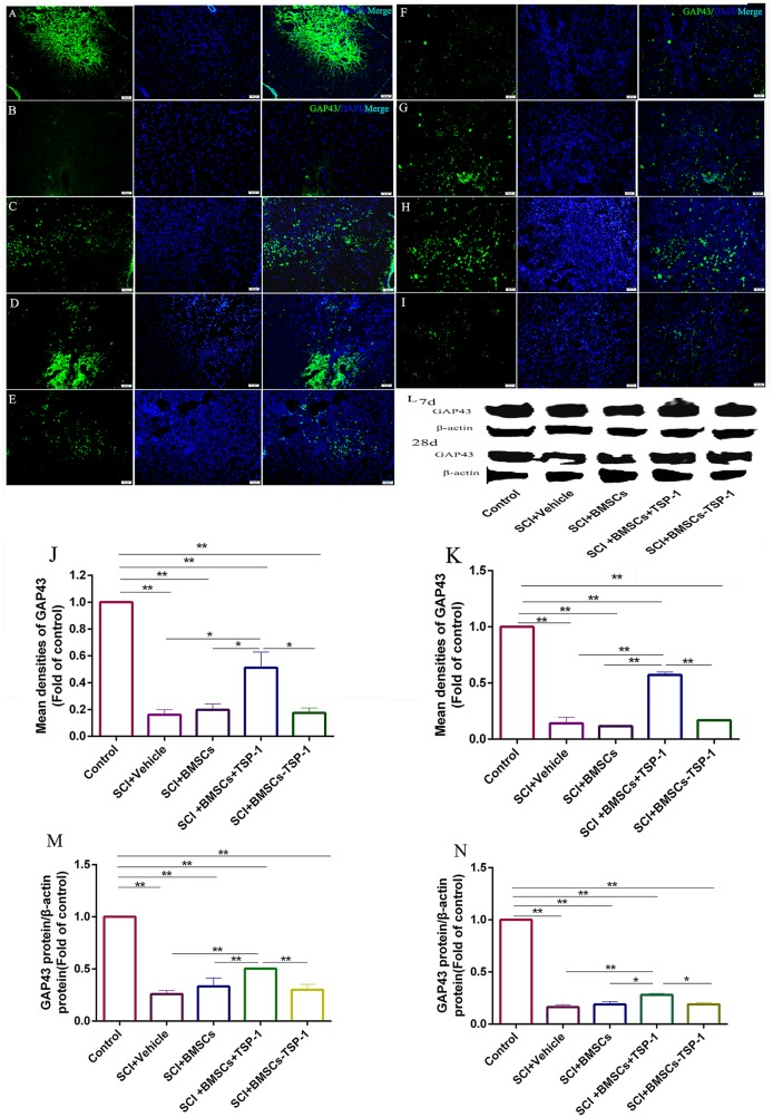 (A-E, J, L, M) The immunofluorescence and western blot assay of GAP-43 in injured spinal cord at 7d after BMSCs transplantation. Scale bars: 50μm. (A) Control group, (B) SCI + vehicle group, (C) SCI+BMSCs group, (D) SCI+BMSCs+TSP-1 group, (E) SCI+BMSCs-TSP-1 group, (J) The mean density of GAP-43 in SCI+vehicle, SCI+BMSCs, SCI+BMSCs+TSP-1 and SCI+BMSCs-TSP-1 group at 7d. ** P