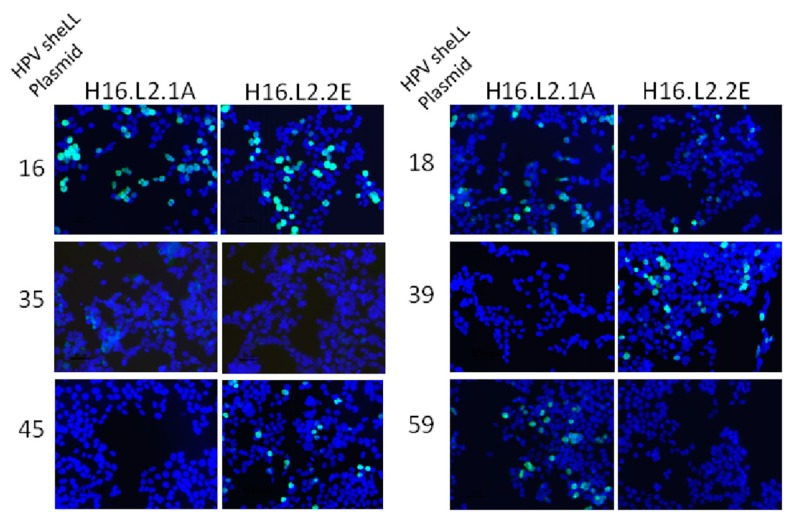 Immunofluorescence detection of anti-L2 mAb binding to L2 protein expressed in 293TT cells. Cells were transfected with sheLL plasmids for HPV16, 18, 35, 39, 45, 59 and fixed/permeabilized 48 h later. Anti-L2 mAbs were added to the cells and recognition of the L2 protein was detected with a goat anti-mouse immunoglobulin G (IgG) secondary antibody conjugated to Alexafluor 488.