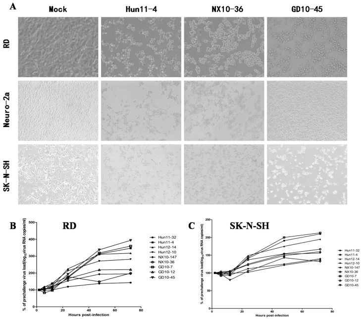 Enterovirus 71 (EV71) strain infection and replication in rhabdomyosarcoma (RD) cells, mouse neuroblastoma Neuro-2a (N2a) cells and human neuroblastoma (SK-N-SH) cells. ( A ) Images of RD, N2a, and SK-N-SH cells acquired 24 hours post infection (hpi) after infection with 100 50% tissue culture infective dose (TCID50) of three representative EV71 strains, including clinical mild strain Hun11-4, clinical severe strain NX10-36, and clinical fatal strain GD10-45 (magnification 200×). ( B ) Replicative curve of EV71 in RD cells. Total RNA was prepared from infected and uninfected RD cells at 2, 6, 12, 24, 48, and 72 hpi. After reverse transcription, VP-1 specific primers were used to amplify the viral VP1 gene transcript from the complementary <t>DNA</t> <t>(cDNA),</t> confirming viral replication in infected RD cells. ( C ) Replicative curve of EV71 in SK-N-SH cells. Total RNA was prepared from infected and uninfected SK-N-SH cells at 2, 6, 12, 24, 48, and 72 hpi. After reverse transcription, VP-1 specific primers were used to amplify the viral VP1 gene transcript from the cDNA, confirming viral replication in infected SK-N-SH cells.