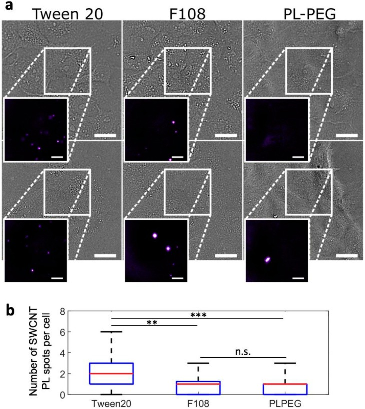 SWCNT interactions with live cells probed by NIR photoluminescence. ( a ) Bright-field and NIR photoluminescence imaging (inserts) of live cells incubated for 24 h with <t>Tween20-,</t> F108-, or PLPEG-coated SWCNTs and further rinsed before imaging. PLPEG- and F108-coated SWCNTs displayed lower non-specific interactions with live cells compared to Tween20-coated SWCNTs. Scale bars: 25 µm for the bright field images and 10 µm for the magnified NIR photoluminescence images of SWCNTs; ( b ) Corresponding median (red), 25–75th percentile (blue), and 0–100th percentile (black) of the number of SWCNT PL spots observed on live cells for Tween20-, F108- or PLPEG-coated SWCNTs ( N = 70, 53, and 86 cells respectively, n.s.: not significant, ** p