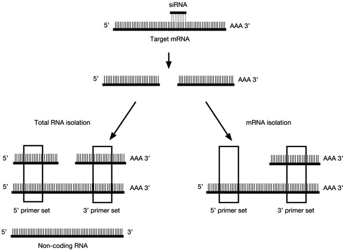 Schematic representation of the experimental setup. siRNAs direct site-specific cleavage of mRNAs, resulting in a 5′ and 3′ mRNA cleavage fragments. After RNA isolation total RNA samples consist of uncleaved mRNA transcripts and non-coding RNA, as well as undegraded 5′ and 3′ mRNA cleavage fragments. Purification of mRNA using poly-T beads excludes 5′ mRNA cleavage fragments and non-coding RNAs that are not polyadenylated. As indicated by the boxes, 5′ and 3′ primer sets could detect different species of RNA depending on the isolation method