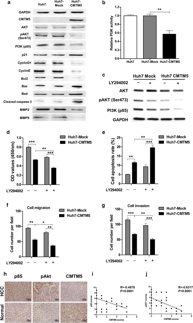 CMTM5 inhibits tumour growth and metastasis through regulating PI3K-AKT signalling. a The related proteins of PI3K/Akt pathway, including AKT, pAKT, PI3K p85 subunit, p21, cyclinD1, cyclinE, Bcl2, Bax, Bad, cleaved caspase 3, MMP2 and MMP9 in CMTM5 overexpressed Huh7 cells were examined by western blotting. b The relative kinase activity of PI3K in CMTM5 overexpressed Huh7 cells were examined by PI3K kinase ELISA assay. c The proteins levels of AKT, pAKT and P85 in Huh7-CMTM5 cells after treatment of PI3K inhibitor LY294002 (10 μM). d – g Huh7-CMTM5 cells were treated with or without LY294002, Cell growth ( d ), cell apoptosis ( e ) and cell metastatic and invasion ( f , g ) were examined. h – j The expression of PI3K p85 and pAKT (Ser473) in 76 paired tumour and adjacent normal liver tissues were examined by IHC staining and scored from 0 to 9 as described in the method. The left plots ( h ) were representative results of IHC staining against indicated proteins. The right plots were the statistical analysis of the correlation of CMTM5 expression with p85 ( i ) and pAKT ( j ) in HCC tissues (Spearman correlation test). Data are shown as mean ± SD from three independent experiments. * P