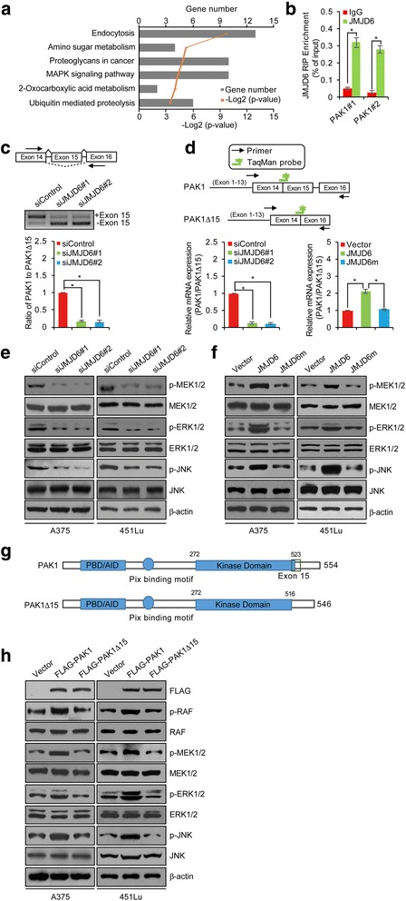 JMJD6 Enhances MAPK Signaling in Melanoma Cells through Regulation of Alternative Splicing. a Bioinformatics analysis of the different AS events that were identified in JMJD6-depleted A375 cells using the DAVID Functional Annotation Tool (DAVID, https://david.ncifcrf.gov /). b RNA-IP assay in A375 cells was performed with IgG or JMJD6 antibody followed by qRT-PCR with primer pairs for the intron-exon junction in PAK1 pre-mRNA. c The transcripts of full length (PAK1) and exon 15-skipped PAK1 (PAK1Δ15) were analyzed by RT-PCR using RNA extracted from control siRNA, siJMJD6#1 or siJMJD6#2-treated A375 cells. Arrows indicate the location of primers for RT-PCR analyses. Quantitation was done by densitometry and expressed as signals of PAK1/PAK1Δ15 ratios. d Schemes illustrating primer and probe design to detect PAK1 and PAK1Δ15 are shown. A375 cells were transfected with control siRNA/vector, siJMJD6#1 or siJMJD6#2, JMJD6, or JMJD6m, and TaqMan assays were performed to determine the ratio of PAK1 to PAK1Δ15 expression. e, f A375 and 451Lu cells were treated with control siRNA, siJMJD6#1, siJMJD6#2, vector, JMJD6 or JMJD6m, and Western blotting analysis was performed with antibodies as indicated. g A schematic representation of the structure of PAK1 and PAK1Δ15. The PBD (p21-binding domain), AID (auto inhibitory domain), and kinase domain are shown. The PAK1Δ15 is lack of 15th exon (517-533 aa) thus has an incomplete kinase domain. h A375 and 451Lu cells were transfected with vector, FLAG-PAK1 or FLAG-PAK1Δ15 expression plasmids, and Western blotting analysis was performed with antibodies as indicated