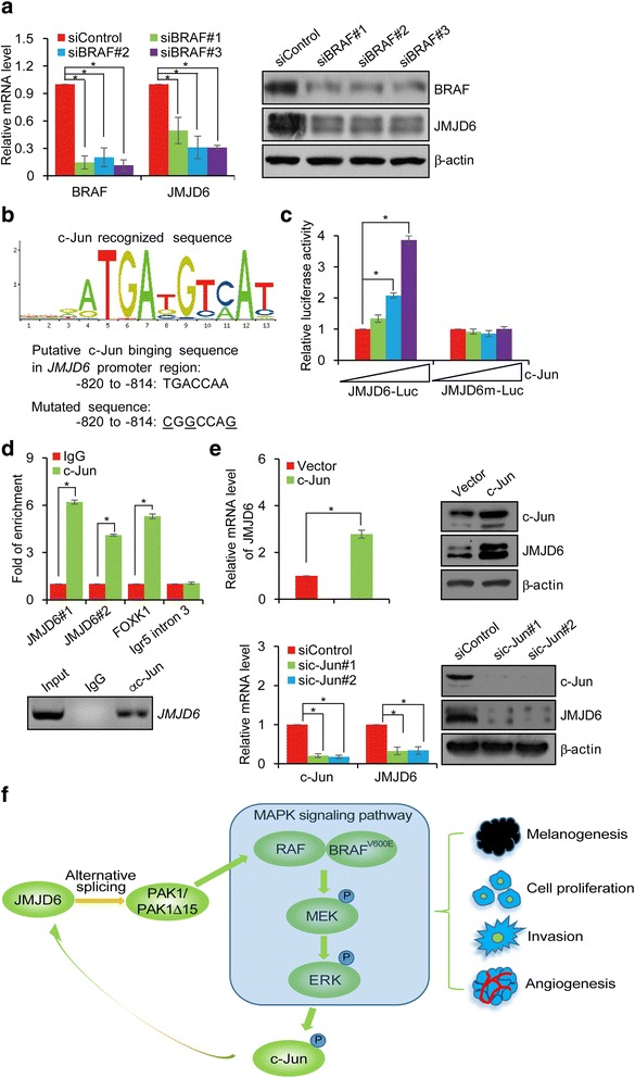 JMJD6 is Transcriptionally Activated by c-Jun. a A375 cells were transfected with control siRNA or BRAF siRNAs. Total RNAs and proteins were extracted and analyzed for the expressions of BRAF and JMJD6 by qRT-PCR and Western blotting, respectively. b c-Jun recognized consensus site was identified in the promoter region of JMJD6 using a bioinformatics website ( http://alggen.lsi.upc.es/cgi-bin/promo_v3/promo/promoinit.cgi?dirDB=TF_8.3 ). The number represents the nucleotide position relative to the transcription start site (+1). The mutated nucleotides are underlined. c Luciferase reporter assays in A 375 cells transfected with JMJD6-Luc or mut-JMJD6-Luc together with c-Jun and renilla as indicated. d qChIP assays (upper) and ChIP assays (lower) of the occupancy of c-Jun in the promoter region of JMJD6 in A375 cells. FOXK1 and Igr5 intron 3 serve as positive and negative control, respectively. e A375 cells were transfected with vector, c-Jun, or treated with control siRNA or c-Jun siRNAs. Total RNAs and proteins were extracted and analyzed for the expression of JMJD6 by qRT-PCR and Western blotting, respectively. f Proposed model of the JMJD6 in melanoma carcinogenesis. In melanoma cancer cells, JMJD6, through regulating PAK1 alternative splicing and positively influencing the MAPK signaling, promotes melanogenesis, cell proliferation, invasion and angiogenesis. Hyperactive MAPK signaling leads to the phosphorylation of c-Jun, which, in turn, transcriptionally activates JMJD6 expression. Such a self-enhancing molecular system favors the development and progression of melanoma