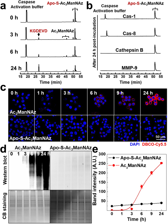 ( a ) In vitro cleavage of Apo-S-Ac 3 ManNAz was monitored using HPLC system at 0, 3, 6, and 24 h post-incubation with Cas-3 (15 μg/ml). ( b ) As a control experiment, Apo-S-Ac 3 ManNAz was also monitored using HPLC system at 24 h post-incubation with 15 μg/ml of Cas-1, Cas-8, Cathepsin B and MMP-9, respectively. The generation of azido groups on the surface of non-apoptotic PC-3 tumor cells in vitro . ( c ) Time-dependent CLSM images of Ac 3 ManNAz (20 μM) or Apo-S-Ac 3 ManNAz (20 μM)-treated PC-3 tumor cells, followed by DBCO-Cy5.5 (200 nM) to visualize azido groups on the cell surface. Red = DBCO-Cy5.5 channel; Blue = DAPI channel. ( d ) Western blot analysis of azido groups (N 3 ) containing glycoproteins in cell lysates. The coomassie blue (CB) stain shows the total amount of glycoproteins in cell lysates. ( e ) Quantification of band intensity of azido groups of Western blot data using ImageJ software.