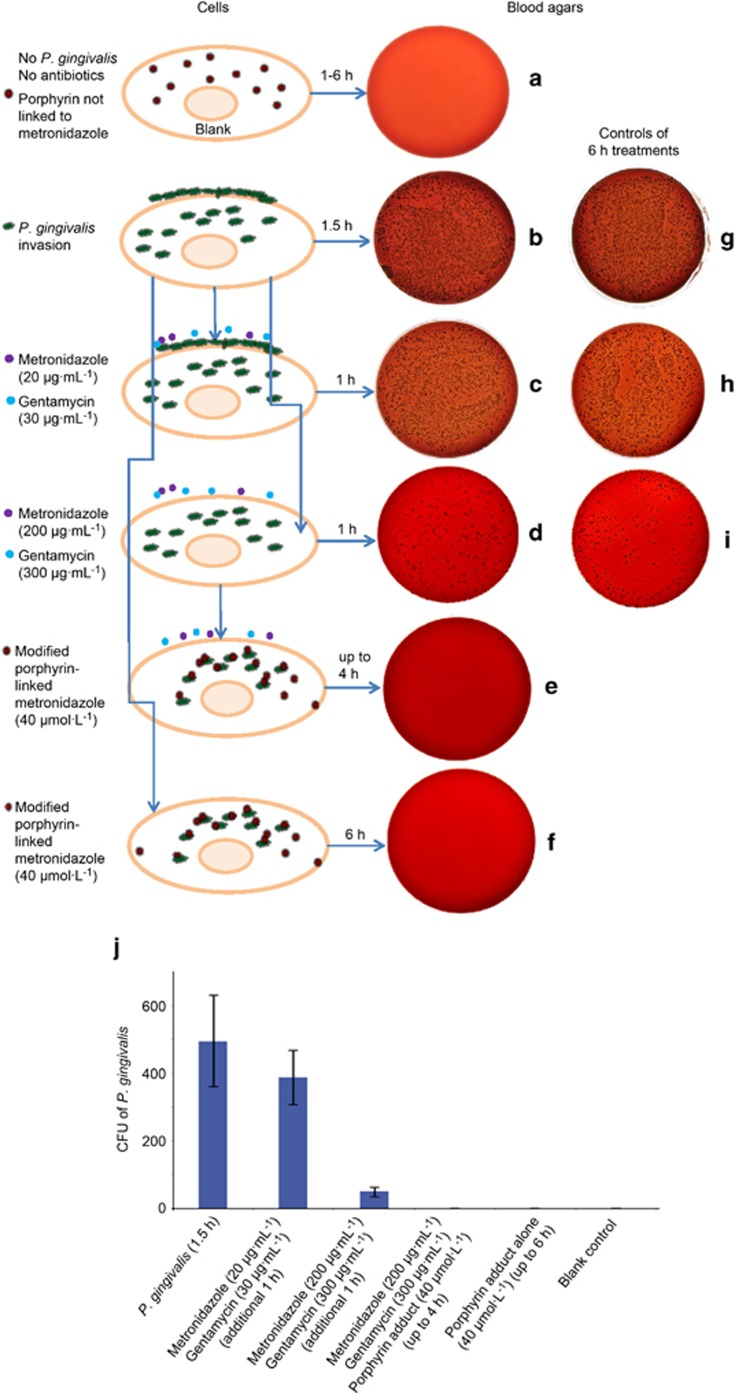 Blood agar colonies (CFU of P. gingivalis ) that gave an indication of the efficacy of the porphyrin compound. ( a ) A negative control blood agar plate indicating no contamination. ( b ) Strong growth from the intracellular and adherent P. gingivalis culture for 1.5 h. ( c , d ) Invaded P. gingivalis treated with metronidazole (20 or 200 μg·mL −1 ) and gentamycin (30 or 300 μg·mL −1 ) for an additional 1 h, respectively, to compare whether there was any differences in killing adherent (extracellular) bacterial cells. Adherent/extracellular (surface-bound) bacteria were only eliminated with a combination of high levels of metronidazole (200 μg·mL −1 ) and gentamycin (300 μg·mL −1 ) ( d ). This represented intracellular infection of P. gingivalis. ( e , f ) Representative of cells treated with antibiotics and porphyrin compound or porphyrin compound only, for up to 4 and 6 h. All bacteria were eliminated. Panels ( g – i ) showed 6 h incubations with different treatments of P. gingivalis and antibiotics as controls. Bacteria were similar amounts with early time treatments ( b – d ), respectively. ( j ) The summary of the average counting numbers of intracellular P. gingivalis colonies (CFU) from blood agar cultures ( a – f ) at 4 days. CFU, colony forming units.