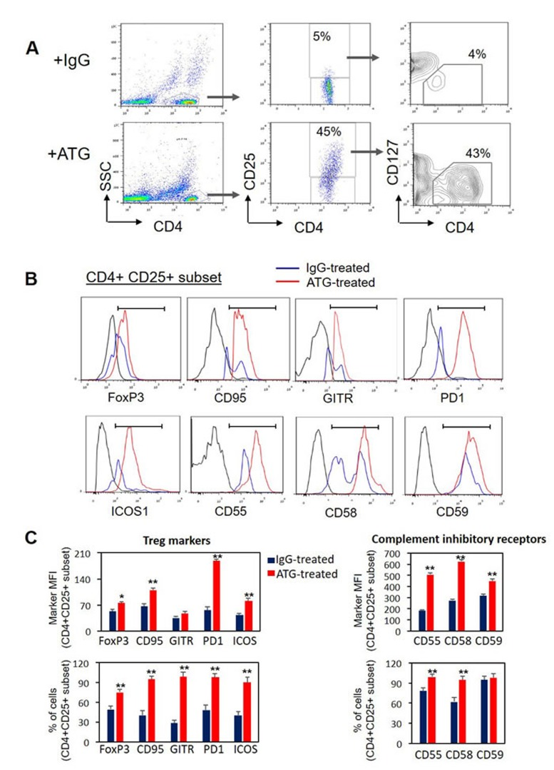 ATG treatment induces the expression of Treg markers and complement inhibitory receptors Normal PBMCs were incubated during 48 hours with ATG (60 µg/ml) or rabbit IgG. Cell surface staining for CD4, CD25, CD127, CD95, GITR, ICOS, PD-1, CD55, CD58, CD59 and intra-cellular staining for FoxP3 was performed. A. Representative plots showing CD25 and CD127 expression on gated CD4+ cells. CD4+CD25+CD127-low subset of Treg cells is enumerated. B. Representative histograms showing the expression of Treg markers and complement inhibitory receptors in the CD4+CD25+ cell subset. C. Mean fluorescence intensity (MFI) and percentage of CD4+ CD25+ cells expressing the specific markers are presented as mean of triplicates (** p