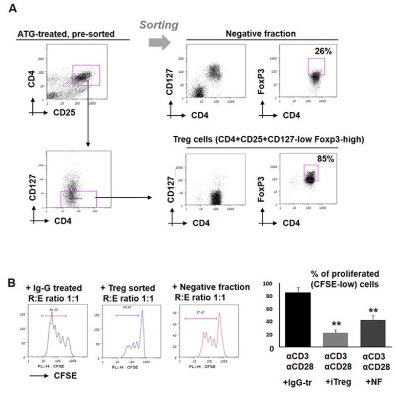 Effect of sorted iTreg cells on T cell proliferation A. PBMCs were incubated during 48 hours with ATG (60 µg/ml), stained for CD4, CD25 and CD127, and separated into two fractions: CD4+CD25+CD127- cells (enriched with viable Treg cells) and negative fraction. Treg phenotype was confirmed by FoxP3 staining. B. Sorted enriched Treg cells and negative fraction were applied to the stimulated autologous PBMCs and proliferation was measured by CFSE staining. Percentage of proliferated cells is presented by bars as mean of triplicates ±STDEV (** p