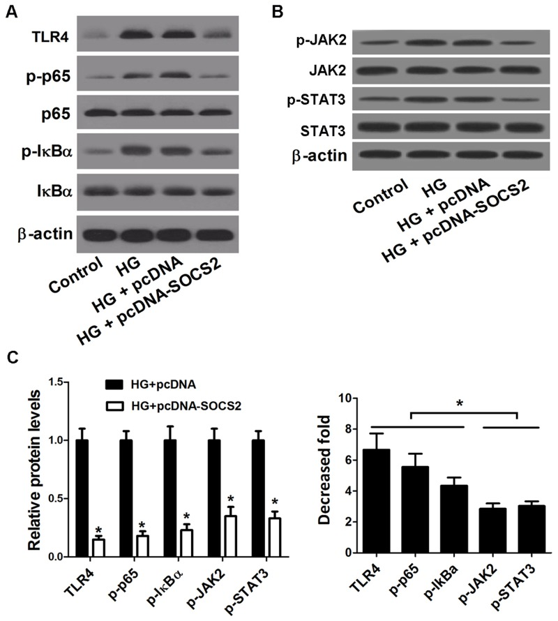 Effect of SOCS2 overexpression on the TLR4/NF-κB pathway and the JAK/STAT pathway in HG-stimulated podocytes (A) Western blot was carried out to determine the expression of TLR4, p-p65, p65, p-IκBα and IκBα in control podocytes, HG-stimulated podocytes or HG-stimulated podocytes transfected with pcDNA-SOCS2 or pcDNA. (B) Western blot was conducted to analyze the protein levels of p-JAK2, JAK2, p-STAT3, and STAT3 in control podocytes, HG-stimulated podocytes or HG-stimulated podocytes transfected with pcDNA-SOCS2 or pcDNA. (C) The decrease fold of the protein levels of TLR4, p-p65, p-IκBα, p-JAK2, and p-STAT3 in HG-stimulated podocytes or HG-stimulated podocytes transfected with pcDNA-SOCS2 or pcDNA. * P