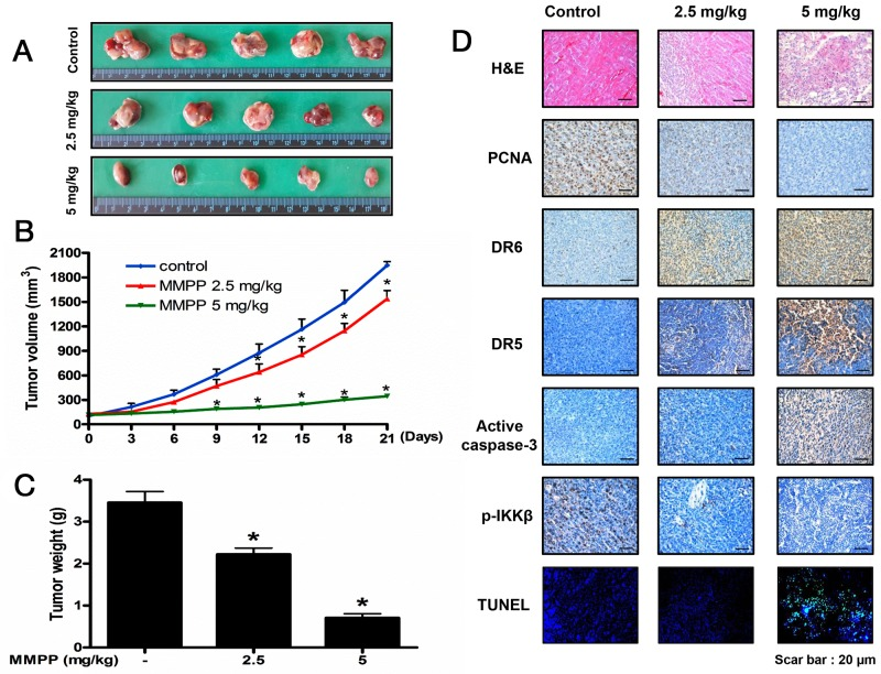 Anti-tumor activity of MMPP in colon cancer xenograft mice model (A) , (B) (C) Growth inhibition of subcutaneously transplanted HCT116 xenograft mice treated with MMPP (2.5 mg/kg and 5 mg/kg twice a week) for 3 weeks. Xenograft mice (n=10) were administrated intraperitoneally with 0.01% DMSO or MMPP (2.5 mg/kg and 5 mg/kg). Tumor burden was measured once per week using a caliper, and calculated volume length (mm) × width (mm) × height (mm)/2. Tumor weight and volume are presented as means ± S.D. (D) Immunohistochemistry was used to determine expression levels of PCNA, DR6, DR5, active caspase-3, p-IKKβ in nude mice xenograft tissues by the different treatments as described in the materials and method. DAPI TUNEL assay was carried out to assess the apoptosis rate in the nude mice xenograft tissue. Total number of cells in a given area was determined by using DAPI nuclear staining (fluorescent microscope). A green color in the fixed cells marks TUNEL-labeled cells.