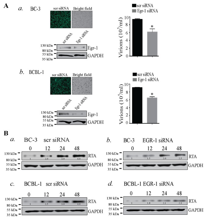 (A) Egr-1 silencing reduced virion production in BC-3 and BCBL-1 cells a. BC-3 and b. BCBL-1 cells were transfected with scrambled siRNA (scr siRNA)/Egr-1 siRNA and allowed to grow for 24h followed by induction with TPA for 72h. Culture supernatant containing virions was collected and concentrated through ultracentrifugation. The relative virion quantity was determined by qPCR of the DNA extracted from the virions. The expression of Egr-1 and the respective GAPDH are shown in BC-3 and BCBL-1 transfected with scr/ Egr-1 siRNA. Transfection efficiencies of scrambled siRNA (scr siRNA-FITC conjugated) (green cells) are shown in BC-3 and BCBL-1, respectively. * P
