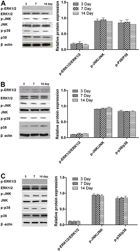 Effects of BMP-2/PELA ( A ) and PELA/VEGF ( B ) scaffolds, as well as the positive control ( C ), on the activation of mitogen-activated protein kinase (MAPK) signaling in rBMSCs cells. Results are reported as means±SD.