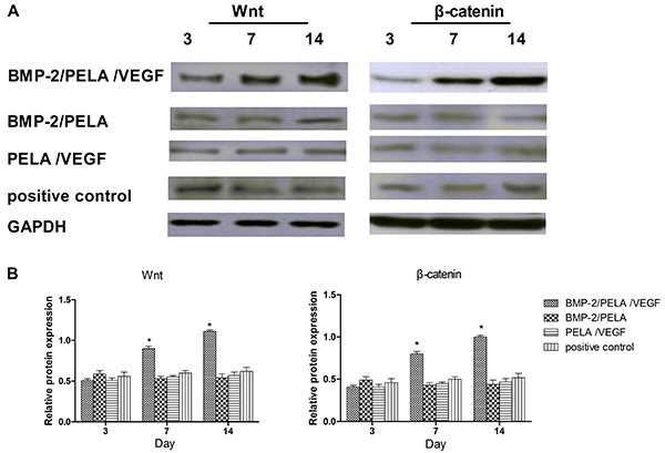 Expression of Wnt and β-catenin proteins in BMP-2/PELA/VEGF and BMP-2/PELA scaffolds, as well as the positive control. A , Western blotting images. B , Quantification of Wnt and β-catenin expression based on western blotting analysis. Results are reported as means±SD (n=5). *P