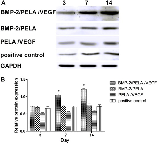 Expression of alkaline phosphatase (ALP) protein in BMP-2/PELA/VEGF and BMP-2/PELA scaffolds, as well as the positive control, 3, 7, and 14 days after mesenchymal stem cells seeding. A , Western blotting images. B , Quantification of ALP based on western blotting analysis. Results are reported as means±SD (n=5). *P