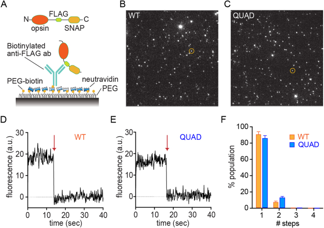 Single molecule fluorescence measurements reveal that purified WT and Quad opsins are monomers. ( A ) Schematic illustration of the single molecule pulldown (SiMPull) set up. ( B ) Representative TIRF image of SNAP-surface 549-labeled WT opsin-FLAG-SNAP; the circled spot corresponds to the photobleaching trace in panel D. ( C ) Representative TIRF image of SNAP-surface 549-labeled QUAD opsin-FLAG-SNAP; the circled spot corresponds to the photobleaching trace in panel E. ( D ) Trace depicting 1-step photobleaching of the circled spot from panel B when exposed to a 561-nm laser beam at time 0 s. The arrow depicts the point at which photobleaching occurred. ( E ) Trace depicting 1-step photobleaching of the circled spot from panel C when exposed to a 561-nm laser beam at time 0 s. The arrow depicts the point at which photobleaching occurred. ( F ) Fraction of the total population of spots that show 1-, 2-, 3-, or 4-step photobleaching (1102 and 1083 spots were analyzed for WT and QUAD opsin constructs, respectively). Error bars indicate standard errors calculated from 5 movies for each condition (169–257 spots were analyzed per movie).