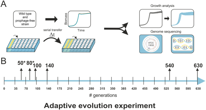 Adaptive evolution experiment. ( A ) C. glutamicum ATCC 13032 and its prophage-free variant MB001 were adaptively evolved towards increased growth rates on glucose minimal medium (CGXII medium with 2% (w/v) glucose). Overall, six independent cell lines for each strain were evolved by repetitive batch cultivation using 48-well plates incubated at 30 °C (experimental details are given in the material and methods section). ( B ) Time line of the ALE experiment. Highlighted are the samples that were further analyzed by genome sequencing. Samples of the second reproduction of the experiment are marked with an asterisk.