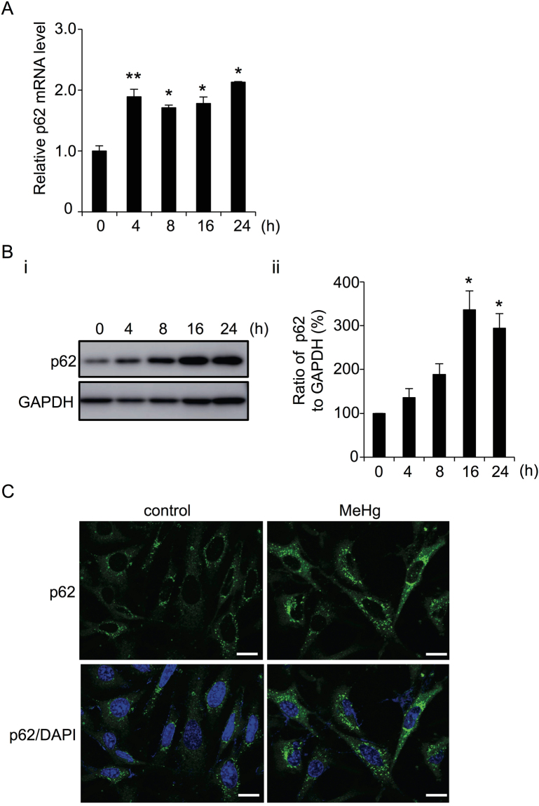 Methylmercury (MeHg) leads to increased p62 mRNA and protein levels in mouse embryonic fibroblasts (MEFs). ( A ) mRNA levels of p62 relative to GAPDH after treatment with 1 µM MeHg for 0-24 h. Data are expressed as means ± SEM for 3 independent experiments. ** p