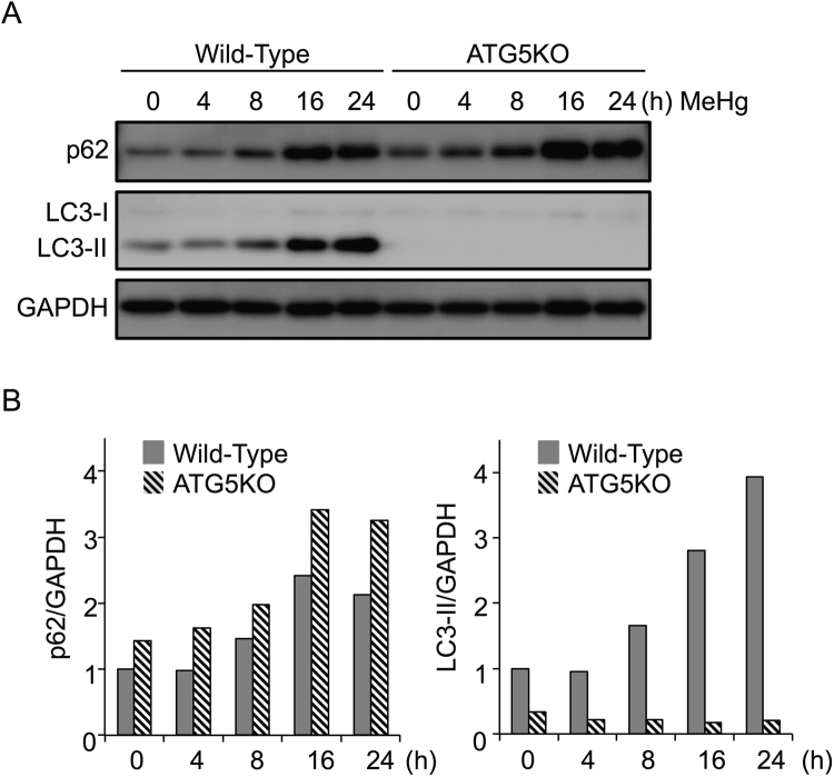 Methylmercury (MeHg) increases p62 protein in an autophagy-independent manner. ( A ) Wild-type (WT) and Atg5 knockout (KO) mouse embryonic fibroblast cells were treated with 1 µM MeHg for 0–24 h. Whole cell lysates were subjected to immunoblots for p62, LC3-I, and LC3-II. GAPDH was used as the loading control. ( B ) Blots were quantitated and relative expression values determined.