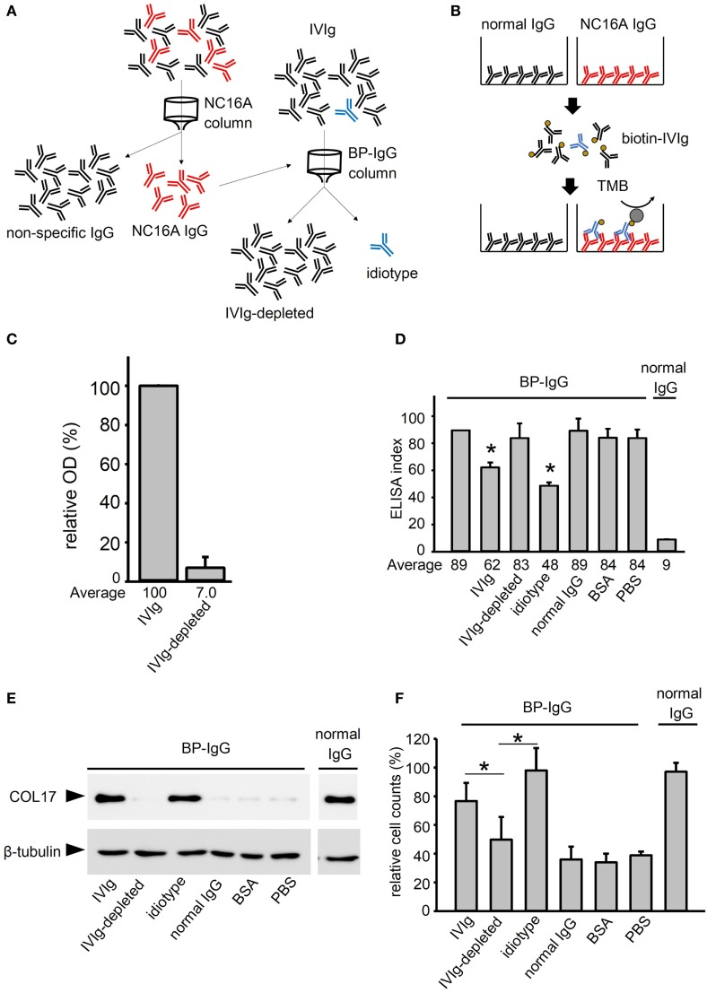 Intravenous immunoglobulin (IVIg) contains anti-idiotypic antibodies against anti-type XVII collagen (COL17) IgG. (A) To deplete idiotypic antibodies, anti-COL17 non-collagenous 16A (NC16A) IgG was purified. Next, anti-COL17 NC16A IgG was coupled to a column. IVIg was passed through the column, and then the flow-through fraction (IVIg depleted) and the elution fraction (idiotype) were corrected. (B) To evaluate the depletion efficacy, 96-well microtiter plates were coated with anti-COL17 NC16A IgG and normal human IgG (500 ng/well). The plates were incubated with biotin-conjugated IVIg (1 mg/ml; idiotype sample: 0.1 mg/ml). Finally, the plates were incubated with HRP-conjugated streptavidin. The depletion efficacy was calculated as follows: ( IVIg-depleted OD to anti-COL17 NC16A IgG ) – ( IVIg OD to normal IgG ) ( IVIg OD to anti-COL17 NC16A ) – ( IVIg OD to normal IgG ) × 100 . (C) To calculate the depletion efficacy, the relative OD score of biotin-conjugated IVIg (5 mg/ml) against anti-COL17 NC16A IgG was determined. Using IVIg samples, the following were performed: (D) COL17 NC16A ELISA, (E) COL17-depletion assay, and (F) cell adhesion test. Bovine serum albumin (BSA) and normal human IgG at the same concentrations were used as controls. Data are based on duplicate samples, and each experiment was performed three times, with p