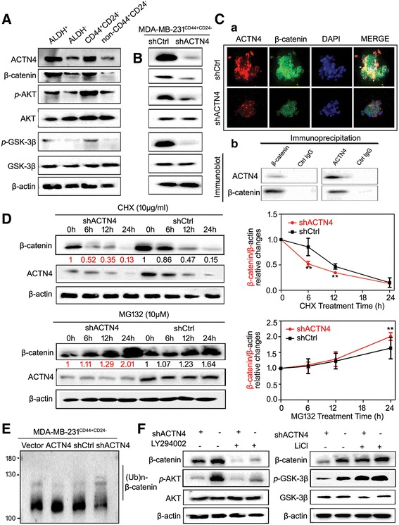 ACTN4 sustains CSCs properties by promoting β-catenin stabilization. (A) The expressions of ACTN4 and β-catenin pathway signaling were elevated in the sorted ALDEFLUOR-positive and CD44 + /CD24 − cells; (B) ACTN4 knockdown in CSCs resulted in decreased β-catenin and p-AKT/GSK3β expressions; (C) a. the immunofluorescence assay showed the co-localization of ACTN4 and β-catenin was mainly located in the cytosol (arrowheads); b. the immunoprecipitation assay revealed the direct molecular interaction between β-catenin and ACTN4; (D) Breast CSCs were transfected with shACTN4, treated with CHX (10 μg/ml), and MG132 (10 μM) for the indicated time and immunoblotted, and the results showed that ACTN4 silencing could promote β-catenin proteasome degradation. A quantitative measurement was conducted to further analyze with Image J (** P
