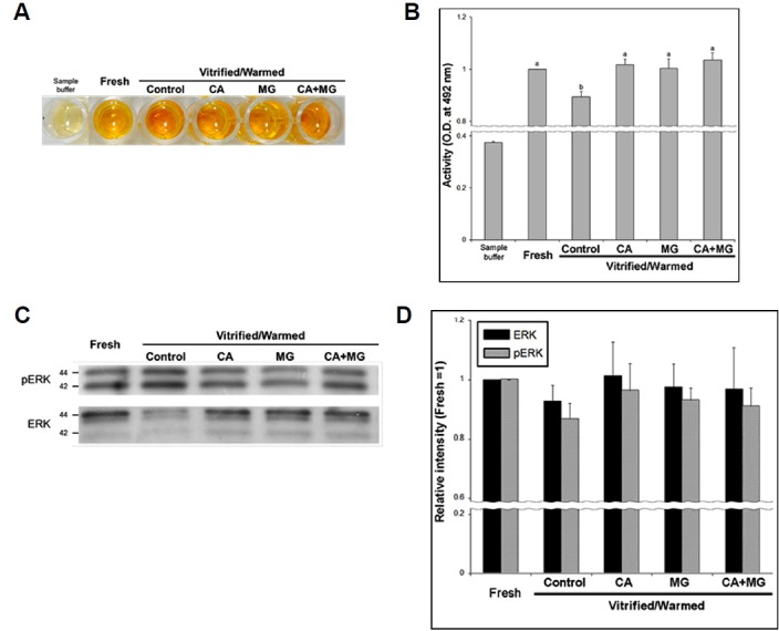 Effects of caffeine/MG132 on MPF and MAPK activity in vitrified/warmed mouse oocytes Vitrified/warmed oocytes were pre-incubated in CPA solution without supplements (untreated control) or containing 10 mM caffeine (CA), 10 μM MG132 (MG) and 10 mM caffeine + 10 μM MG132 (CA+MG) for 2 h, and then collected in 5 μl of sample buffer before vitrification/warming to assess kinase activity. (A) Results of enzyme-linked immunosorbent assays for Cdc2 kinase. (B) Changes in MPF activity in fresh oocytes and oocytes in cryopreserved untreated control, CA, MG and CA+MG groups. (C–D) ERK and pERK expression were not significantly different among groups. Western blots showed similar changes in expression. Thirty oocytes were analyzed for each group (n = 5 replicates/group). Data are shown as the means ± SEM.