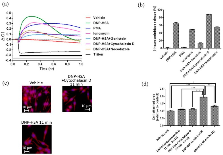 ( a ) Effects of activators (DNP-HSA 50 ng/mL, PMA 50 nM, Ionomycin 1 μM) and inhibitors (Genistein 100 μM, Cytochalasin D 1 μM, Nocodazole 10 μM) on CI changes (ΔCI) of RBL-2H3 cells. The gray bar indicates the presence of each inhibitor, and the black bar indicates the presence of antigen, activator, or Triton. ( b ) Effects of activators and inhibitors on degranulation of RBL-2H3 cells. The graph is representative of three experiments. Data were obtained from quadruplicate measurements. ( c ) Effects of Cytochalasin D on cell spreading in response to antigen. The white bar shows ca. 10 μm. ( d ) Relative cell area of RBL-2H3 cells before and after stimulation by DNP-HSA with or without Cytochalasin D. The area of cell adhesion was measured by using Image-Pro Plus 6.3J. Differences between the areas in each group were analyzed using one-way analysis of variance followed by Tukey's test (* p