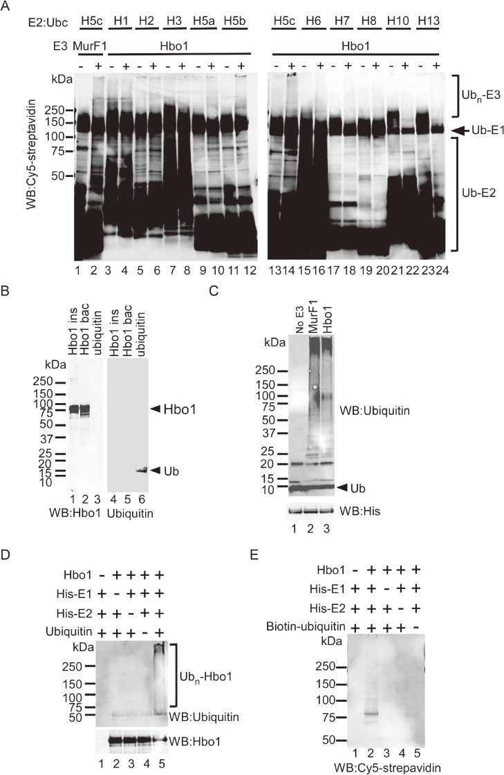 Self-ubiquitination of Hbo1. (A) E2 screen for Hbo1 E3 ligase assay. Ten different His-tagged E2s were incubated with (+) or without (−) commercial recombinant Hbo1 in the presence of His-tagged E1, ATP, and biotinylated ubiquitin. The reaction mixture was run on SDS-PAGE, transferred onto the membrane, and probed with Cy5-conjugated streptavidin to detect ubiquitin. Recombinant MurF1 protein (1.25 µg) served as a positive control for E3 ligase activity (lanes 1 and 2). (B) Recombinant Hbo1 protein from insect cells (lanes 1 and 4) and from bacteria (lanes 2 and 5), and recombinant ubiquitin (lanes 3 and 6), were blotted with anti-Hbo1 or anti-ubiquitin antibodies. Ub: ubiquitin. (C) Commercial recombinant Hbo1 protein was incubated with His-tagged E1, E2 (UbcH5c), ATP, and non-tagged ubiquitin. The reaction mixture was run on SDS-PAGE, transferred onto the membrane, and probed with anti-ubiquitin or anti-His antibodies. Recombinant MurF1 protein (1.25 µg) served as a positive control (lane 2). Ub: ubiquitin. (D) Ubiquitination reaction mixture performed in the listed combination using commercial Hbo1 protein and non-tagged ubiquitin, was blotted with anti-ubiquitin or anti-Hbo1 antibodies. (E) Hbo1 protein from Sf9 cells (1.2 µg) was incubated in the listed combinations for 3 hours. After removal of His-tagged E1 and E2 by mixing with Ni-NTA Agarose, the reaction mixture was blotted with Cy5-conjugated streptavidin to detect ubiquitin.