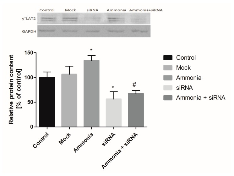 The effect of silencing of the Slc7a6 gene on y + LAT2 protein level in astrocytes in relation to glyceraldehyde-3-phosphate dehydrogenase (GAPDH) protein level. Upper panel shows representative Western blots. Results are mean ± SD; n = 4, * p