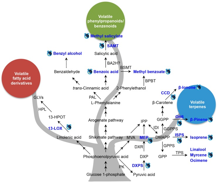Known factors controlling the circadian rhythmic emission of plant volatiles. Blue text and clock labels indicate that the levels of volatiles emission, intermediate metabolites content, gene transcript, or enzyme activity are under circadian control. Solid arrow is representative of a known route, dotted arrow is representative of an unproven route, and two-way arrow is representative of multiple enzymatic steps. BA2H, benzoic acid-2 hydroxylase; BPBT, benzoyl-CoA:benzylalcohol/2-phenylethanol benzoyltransferase; BSMT, benzoic acid/salicylic acid carboxyl methyltransferase; CCD, carotenoid cleavage dioxygenase; DMAPP, dimethylallyl diphosphate; DXP, 1-deoxy- d -xylulose-5-phosphate; DXPS, 1-deoxy- d -xylulose-5-phosphate synthase; DXR, 1-deoxy- d -xylulose-5-phosphate reductoisomerase; GGPP, geranylgeranyl diphosphate; GGPPS, geranylgeranyl diphosphate synthase; GLVs, green leaf volatiles; GPP, geranyl diphosphate; GPPS, geranyl diphosphate synthase; 13-LOX, 13-lipoxygenase; MEP, methylerythritol phosphate; MVP, mevalonic acid; HPL, hydroperoxide layse; 13-HPOT, 13 S -hydroperoxy-( 9Z , 11E , 15Z )-octadecatrienoic; SAMT, salicylic acid carboxyl methyltransferase; IDI, isopentenyl diphosphate isomerase; IPP, isopentenyl diphosphate; ISPS, isoprene synthase; TPS, terpene synthase; PAL, phenylalanine ammonia lyase; PK, pyruvate kinase. The rhythmic emissions of methyl benzoate [ 36 ], benzyl alcohol [ 37 ], methyl salicylate [ 37 , 42 ], isoprene [ 38 , 39 ], β-ionone [ 40 ], mycrene [ 41 ], and ocimene [ 41 ], β-pinene [ 43 ], linalool [ 44 ], were under circadian control. The content of benzoic acid [ 36 ] and MEP [ 45 ] was under rhythmic change. ISPS [ 39 ], CCD [ 40 ], OH6 [ 43 ], SAMT [ 42 ], DXPS [ 45 ], 13-LOX [ 46 ] and were under circadian control.