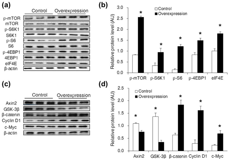 CDX2 overexpression activated both the mTORC1 and Wnt/β-catenin pathways. ( a,b ) Western blot analysis of the mTORC1 pathway activity after CDX2 overexpressed in IPEC-J2 cells with quantification ( n = 3); ( c,d ) western blot of Wnt/β-catenin pathway related proteins after CDX2 overexpressed with quantification ( n = 3). AU: arbitrary unit. Control: control group; Overexpression: CDX2 overexpression group. Representative results of three independent experiments are shown. Data are expressed as the mean ± SEM; * p