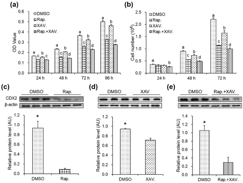 Specific antagonists decreased cell proliferation and the protein level of CDX2 in CDX2 overexpressed IPEC-J2 cells. ( a,b ) OD values and cell numbers were assessed by MTT assay ( n = 20) and cell counting ( n = 6), respectively; ( c – e ) protein levels of CDX2 were measured by Western blot after treated with rapamycin and XAV939 alone or in combination with quantification ( n = 3). AU: arbitrary unit. DMSO: DMSO treatment group; Rap.: rapamycin treatment group; XAV.: XAV939 treatment group; Rap. + XAV.: combination of rapamycin and XAV939 treatment group. Representative results of three independent experiments are shown. Data are expressed as the mean ± SEM; bars without the same letter indicate a significant difference; * p