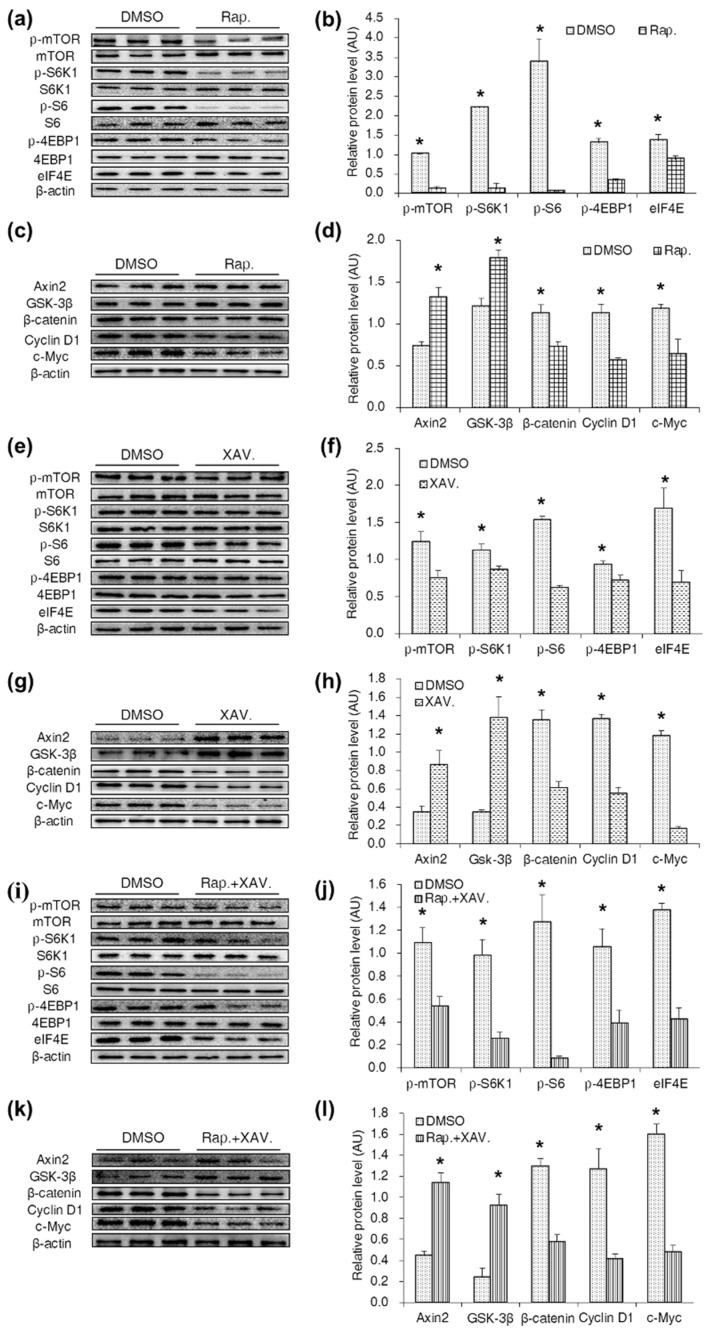 Specific antagonists inhibited both the mTORC1 and Wnt/β-catenin pathways in CDX2 overexpressed IPEC-J2 cells. ( a – d ) Western blot analysis of the mTORC1 and Wnt/β-catenin pathways activity after treated with rapamycin in CDX2 overexpressed IPEC-J2 cells with quantification ( n = 3); ( e – h ) western blot of the mTORC1 and Wnt/β-catenin pathways related proteins after treated with XAV939 in CDX2 overexpressed IPEC-J2 cells with quantification ( n = 3); ( i – l ) protein levels of the mTORC1 and Wnt/β-catenin pathways were measured by Western blot after treated with rapamycin and XAV939 in combination with quantification ( n = 3). AU: arbitrary unit. As rapamycin and XAV939 were dissolved in DMSO, the DMSO-treated cell strain was the control group. DMSO: DMSO treatment group; Rap.: rapamycin treatment group; XAV.: XAV939 treatment group; Rap. + XAV.: combination of rapamycin and XAV939 treatment group. Representative results of three independent experiments are shown. Data are expressed as the mean ± SEM ( n = 3); * p