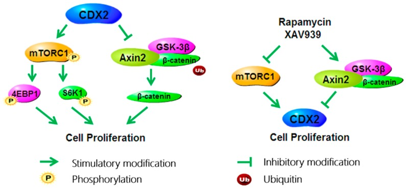In IPEC-J2 cells, CDX2 promotes cell proliferation via activating the mTORC1 and Wnt/β-catenin pathways; specific antagonists of the mTORC1 and Wnt/β-catenin pathways, namely rapamycin or XAV939 respectively, decrease cell proliferation and inhibit both pathways simultaneously.