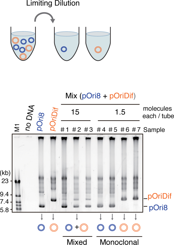 Monoclonal propagation of DNA by limiting-dilution. Mixtures of pOri8 (9.5 kb) and pOriDif (12 kb) after limiting dilution (15 molecules of each in samples 1–3, an average of 1.5 molecules of each in samples 4–7) in the RCR mixture (10 μl) were incubated for 6 h. pOri8 and pOriDif were also individually propagated. Size-marker fragments (M1) were derived from phage λ DNA. DNA was visualized by staining with <t>SYBR</t> Green I.