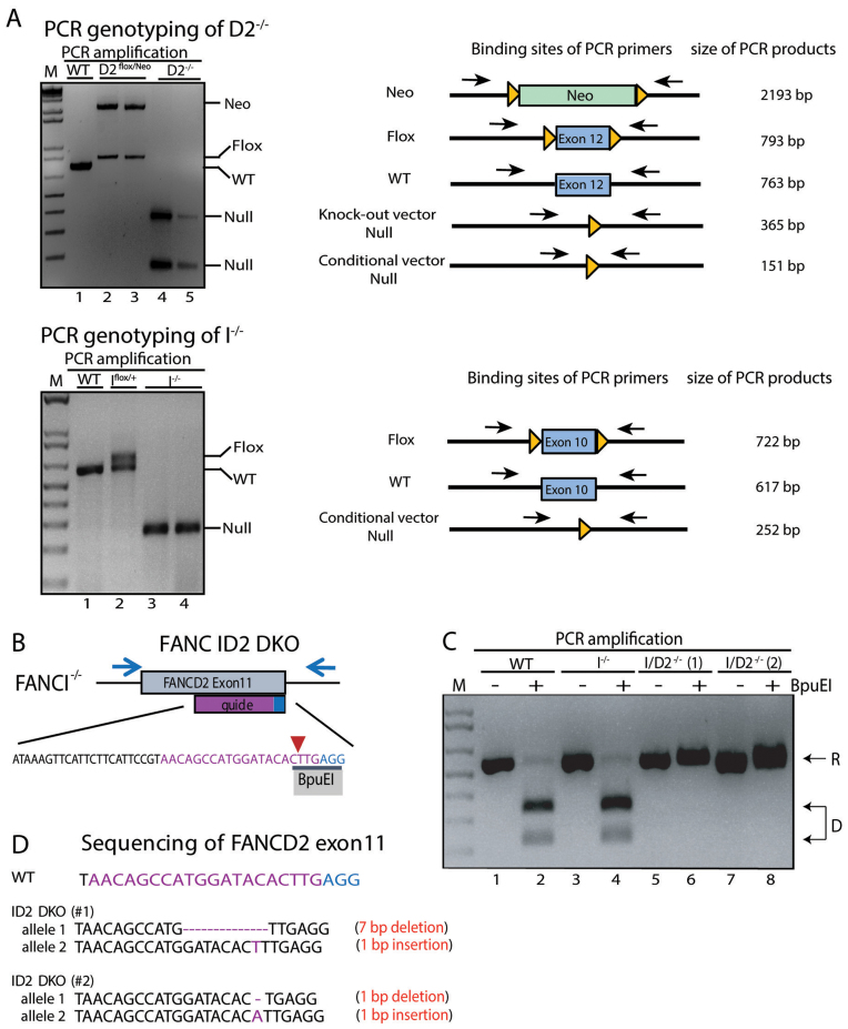 Confirmation of D2 −/− , I −/− and ID2 DKO cell lines. ( A ) PCR genotyping of D2 −/− and I −/− cells and targeting intermediates. Left panel : analyses of DNA fragments for WT (lane 1), D2 flox/Neo (lanes 2 and 3) and D2 −/− (lanes 4 and 5) after PCR amplification with primers FANCD2_EX11SF and FANCD2_LoxPSR flanking the targeted exon. Right panel : analyses of DNA fragments after PCR amplification from WT (lane 1), I flox/+ (lane 2) and I −/− (lanes 3 and 4) cells using primers FancIc_GG_LIF and FancIcond_GG_LoxR flanking the targeted exon. The PCR amplification spanning the targeted exons (exon 12 in FANCD2 ; exon 10 in FANCI ) was used to confirm the removal of the respective exon in the D2 −/− and I −/− cell lines. M: 1 kb markers. ( B ) Schematic of the FANCD2 targeting strategy in I −/− cells. CRISPR/Cas9-mediated gene targeting was used to functionally inactivate FANCD2 in the I −/− cell line. A guide RNA (purple sequence) was designed targeting FANCD2 exon 11 with the Cas9 cut site (red arrow) overlapping an endogenous BpuEI restriction enzyme recognition site (black bar). The PAM sequence of the sgRNA is shown in blue. Indels introduced at the Cas9 cut site should disrupt the BpuEI cleavage site. ( C ) Genotyping of ID2 DKO cells. PCR amplification and BpuEI restriction enzyme digestion of FANCD2 exon 11 in WT, I −/− and two ID2 −/− clones ( 1 and 2 ). Analyses of DNA fragments after PCR amplification with primers FancD2_CC_ F2 and FancD2_CC_ R2 (blue arrows from panel B) from WT (lanes 1 and 2), I −/− (lanes 3 and 4) and ID2 DKO cells (lanes 5, 6, 7 and 8) that had been untreated (lanes 1, 3, 5 and 7) or treated with BpuEI (lanes 2, 4, 6 and 8). Cleavage by BpuEI produces two faster migrating fragments (D, lanes 2 and 4). Resistance (R) to BpuEI digestion is seen in lanes 6 and 8 with the two ID2 DKO clones. ( D ) Sequence confirmation of CRISPR/Cas9 induced bi-allelic frameshift mutations in FANCD2 in the two ID2 DKO clones #1 and #2.