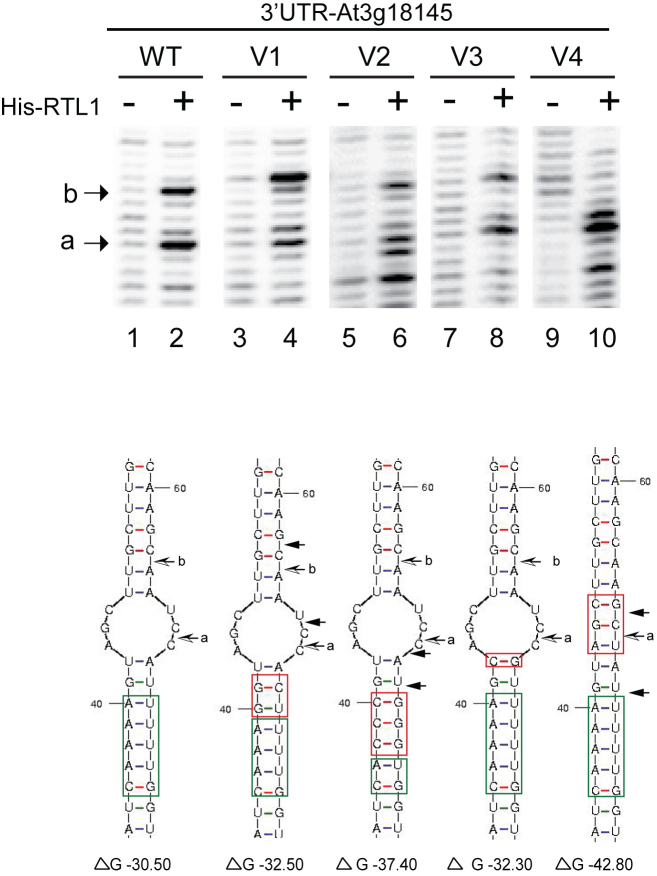 RNA sequence and structure requirements for RTL1 cleavage. Primer extension analysis using in vitro transcribed 3′UTR RNA (WT and mutated V1-V4) incubated with His-RTL1 protein (+) or buffer alone (−). In the version V1 the A::U and the G::U base pairs within and next to the RNA duplex motif were mutated to G::U and G::C respectively; in V2, three of the A::U base within the RNA duplex motif were mutated to C::G; in V3 the U:: A base pair located in the loop structure was mutated to C::G and in the -V4, the UCG nucleotides in loop structure were mutated to GCU. The Wt and mutated sequences are green and red boxed respectively. Arrow shows cleavage site mapped with p1 primer. Note the two novel cleavage sites (black arrows) adjacent to the a and b sites (black and white arrows) in V1 and the novel cleavage sites adjacent to the a site in V2 and V4. The ΔG (kcal/mol) determined by RNA Mfold for each RNA substrate is indicated.