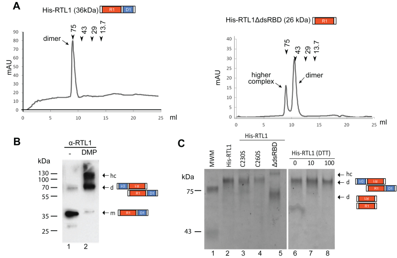RTL1 dimerizes through the N-terminal domain. ( A ) Superdex 75 Gel filtration chromatography of His-RTL1 and His-RTL1ΔdsRBD proteins in 150 mM NaCl buffer conditions. The peak positions of conalbumin (75 kDa), ovalbumin (43 kDa), carbonic anhydrase (29 kDa) and ribonuclease A (13.7 kDa) are indicated by arrows ( B ) His-RTL1 protein untreated (lane 1) or treated (lane 2) with DMP was analyzed by western blot using α-RTL1 antibodies ( C ) Coomassie Blue staining of His-RTL1, His-RTL1 C230S or His-RTL1 C260S and His-RTL1ΔdsRBD migrated on native gel in absence of DTT or in the presence of increased amount of DTT. In B and C, arrows indicate positions of monomer (m), dimers (d) and higher order structures (hc) according to standard molecular weight markers.